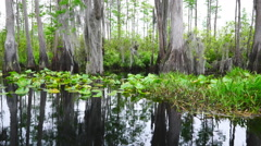 Cypress Swamp at Sunrise Stock Footage