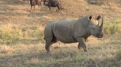 White rhino grazing with wildebeest in the background. Stock Footage