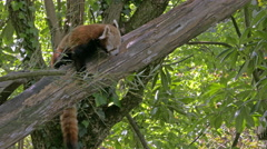 Red Panda (Ailurus fulgens) on a tree gnawing bamboo and showing the tail. Stock Footage