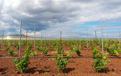 Viticulture with grape saplings - stock photo
