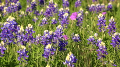 Field of Bluebonnets in Texas Hill Country - Background Stock Footage