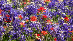 Spring Wildflowers in Central Texas - background - stock footage