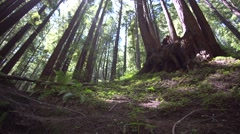 Giant redwood trees, California. Stock Footage