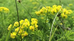 summer yellow flower background, green fresh grass in slow wind - stock footage