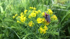 Pair of red beautiful scarlet lily bettles bugs mating on yellow flower Stock Footage