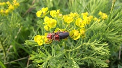 Pair of red beautiful scarlet lily bettles bugs mating , yellow flower Stock Footage