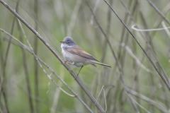Small Whitethroat Bird Stock Photos