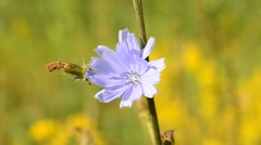 Bee alights on blue chicory flower and flies away - stock footage