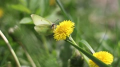 Butterfly	on taraxacum Stock Footage