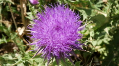 Greece Crete purple thistle flower Stock Footage