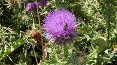 Greece Crete purple thistle with bee Stock Footage