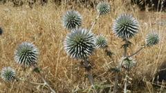 Greece Crete spiny green globe thistle and dry grass Stock Footage