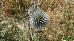 Greece Crete spiny roadside globe thistle Stock Footage