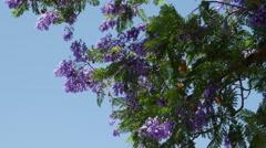 Greece jacaranda tree blooms Stock Footage