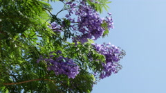 Greece jacaranda tree in bloom Stock Footage