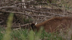 Close on rust colored black bear eating in brush Stock Footage