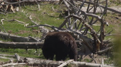 Large grizzly feeding in fallen timber in Yellowstone Stock Footage