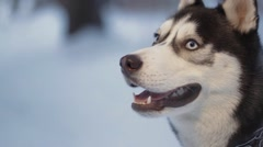 Husky dog on walk. Husky looks up, then to the side. Dog barks and shakes. Stock Footage