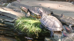 Turtles resting near the water Stock Footage