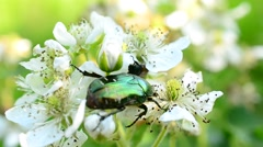 Flower chafer beetle forages on beautiful blackberry flowers - stock footage