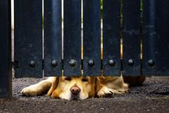 Guard dog bored under gate Stock Photos