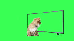 Pekingese puppy watching television on a green screen Stock Footage
