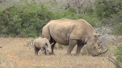 White Rhino mother and Baby Juvi in veld. Stock Footage