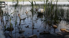 Swans are birds of family Anatidae within Cygnus - stock footage