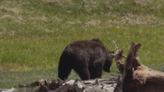 Feeding grizzly makes its way across grassy meadow on sunny day Stock Footage