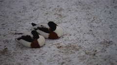 Common shelduck (Tadorna tadorna) Stock Footage
