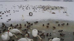 Ducks and swans in the ice-hole Stock Footage