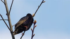 Common starling (Sturnus vulgaris) Stock Footage