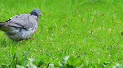 Common wood pigeon Stock Footage