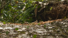Leaf cutter ants (Atta sp.) carrying leaves along a tree trunk Stock Footage