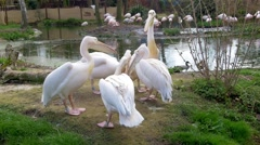 Group of pelicans Stock Footage