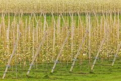 Rows of blossom fruit trees on a Dutch farm Stock Photos