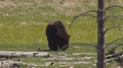Massive grizzly bear chews on grass behind dead pine tree Stock Footage