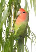 Lovebird perching on leaf Stock Photos