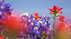 Indian Paintbrush in a Field of Texas Wildflowers - stock footage