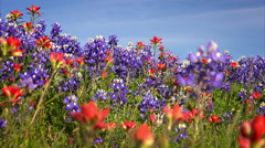 Wildflowers in Texas Hill Country - bluebonnet and indian paintbrush - stock footage