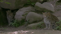 Female Amur leopard (Panthera pardus orientalis) playing with cubs. - stock footage