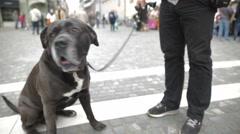 Obedient big black dog waiting owner beside 4K Stock Footage