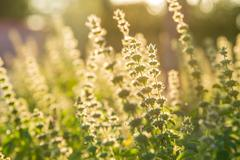 Holy basil flowers for cooking or herb with morning sunlight Stock Photos