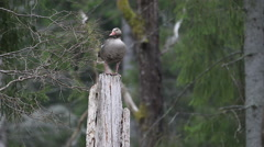 Greylag goose standing on a stump in the forest Stock Footage