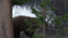 Rust colored black bear walks through trees next to creek at dawn - stock footage