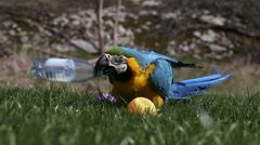 A beautiful parrot playing with balls - stock footage