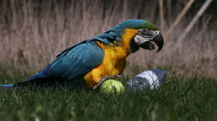 A beautiful Amazon Parrot playing with balls on a lawn Stock Footage