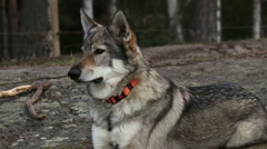 Stately wolf hybrid is guarding Stock Footage