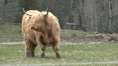 Long-haired cattle in a pasture Stock Footage