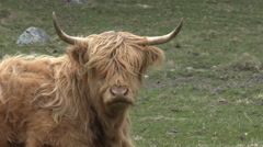 A long haired cow lying and looking at the camera Stock Footage